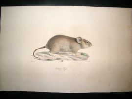 Saint Hilaire & Cuvier C1830 Folio Hand Colored Print. Otomys African Rat